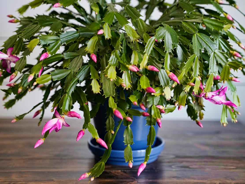 Pretty in pink: the flowering Schlumbergera