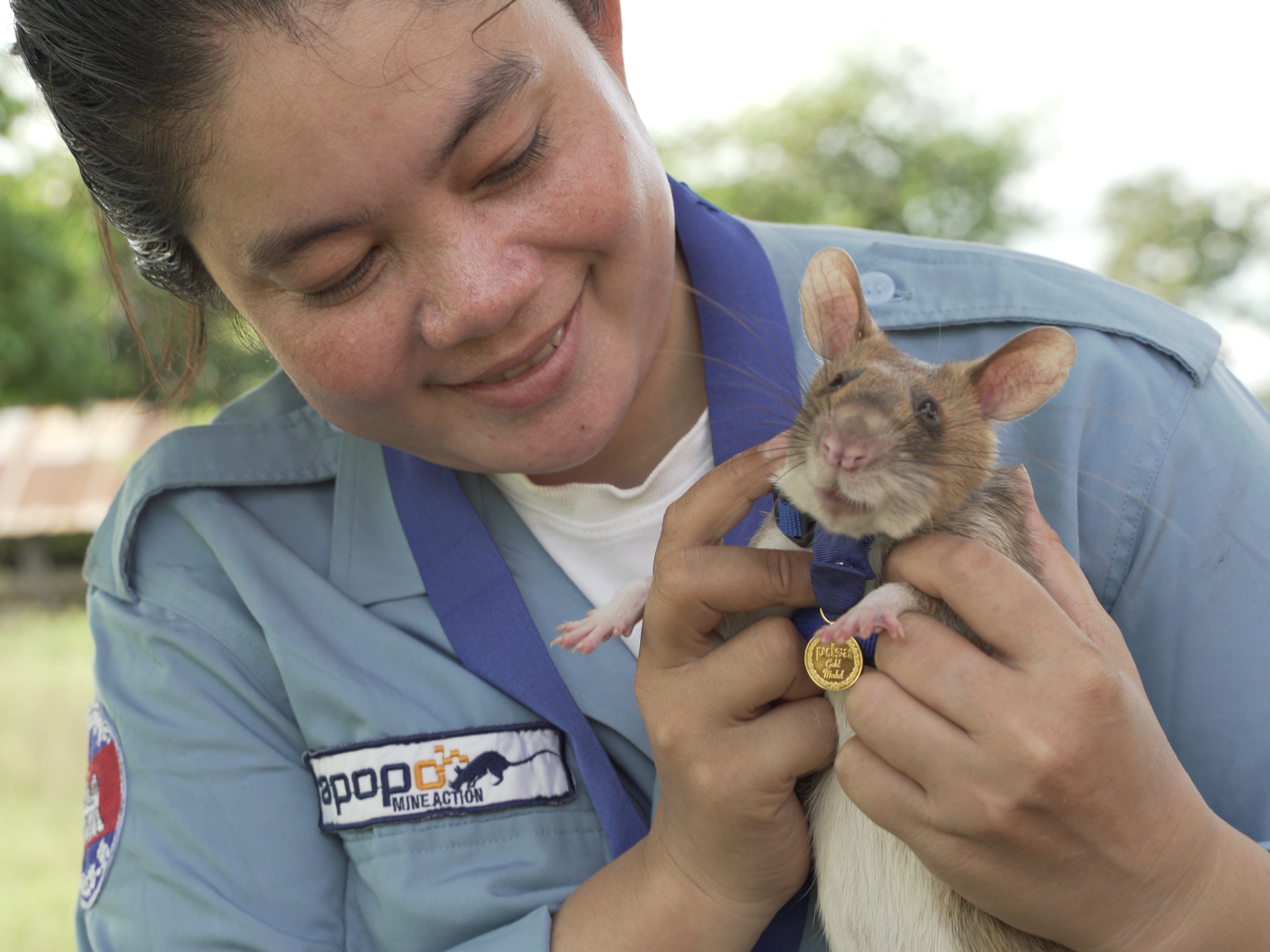 Magawa, a landmine detection rat, receives a miniature PDSA Gold Medal for his work detecting landmines and unexploded ordnance in Cambodia